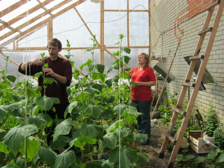 Анапа выращивание огурцов прибыльный бизнес картинка под названием