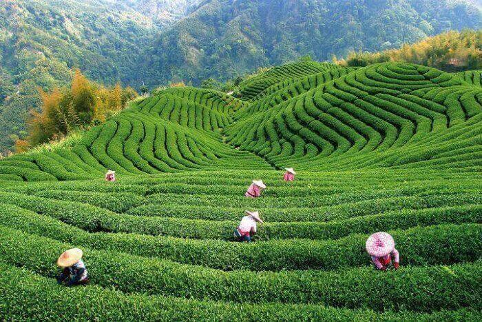 plantaciya chaya 1 1 1 - Чайный бизнес - прибыльное дело!