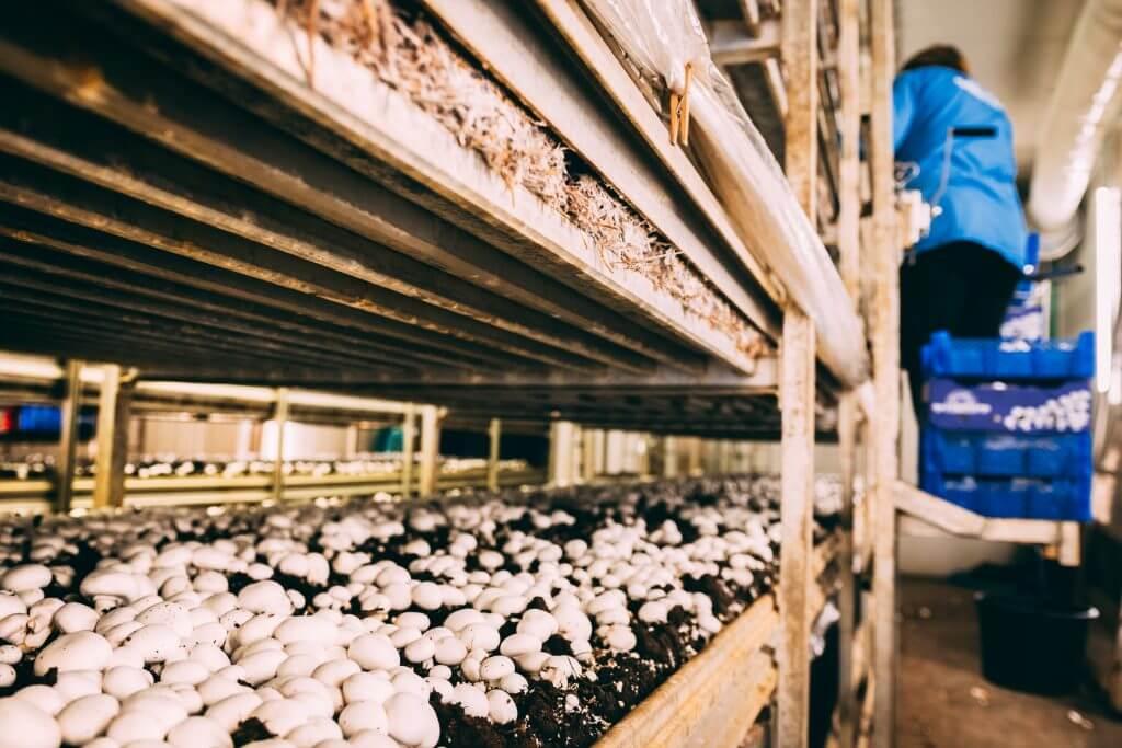 ferma kak biznes - Выращивание грибов - общие правила и особенности бизнеса