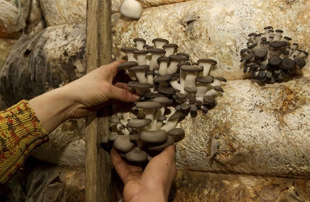 gorizontalno - Выращивание грибов - общие правила и особенности бизнеса