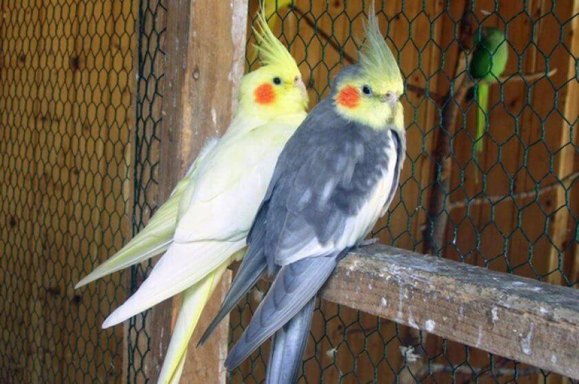 22367.p9mstc.840 - Разведение попугаев в домашних условиях - 7 особенностей бизнеса