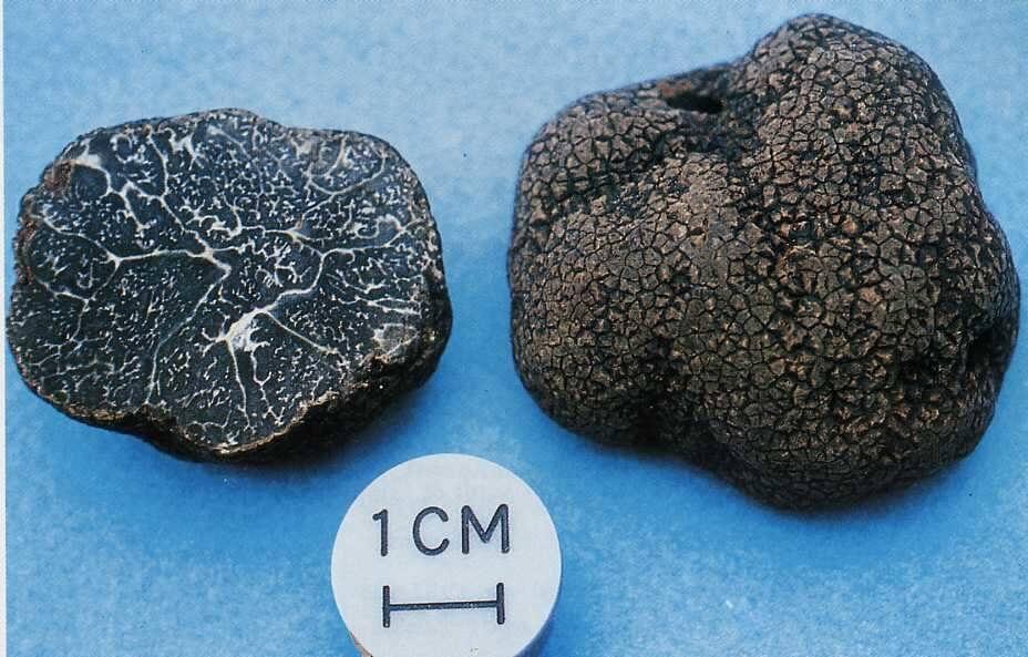 Tuber indicum 1 - 7 этапов выращивания трюфелей