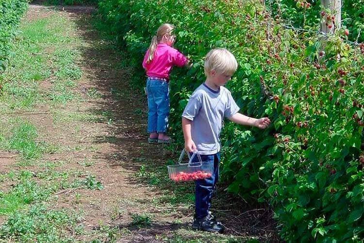 1 - Выращивание малины на продажу как бизнес