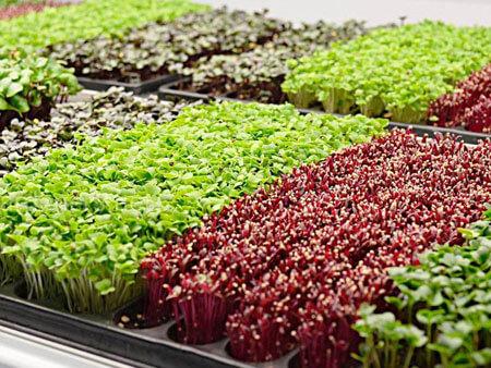 Vyrashchivanie mikrozeleni na prodazhu - Выращивание зелени на продажу как бизнес