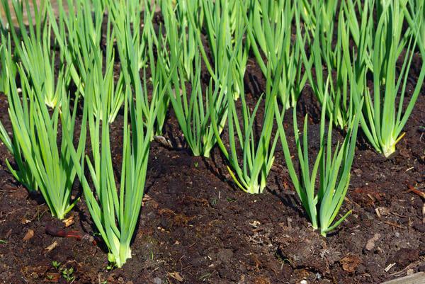 b6f8a5 - Выращивание зелени на продажу как бизнес