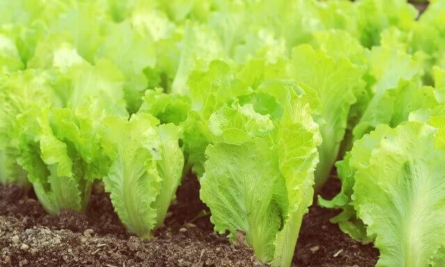 salat 01 - Выращивание зелени на продажу как бизнес