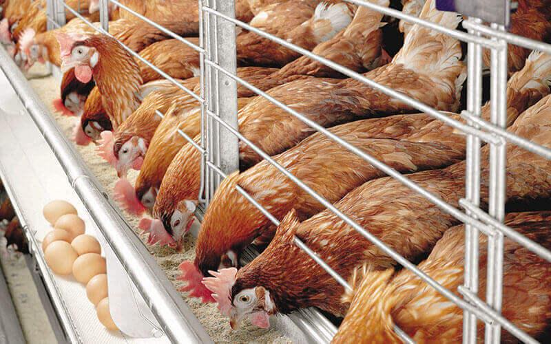 1 - Домашняя птицеферма - 6 преимуществ бизнеса