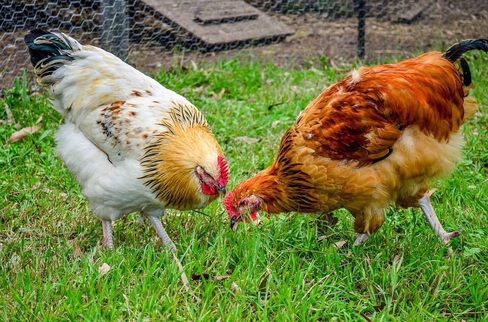 chicken 1214423 960 720 - Домашняя птицеферма - 6 преимуществ бизнеса