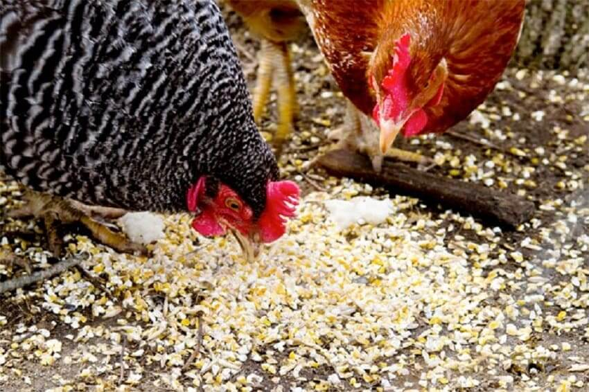ratsion kur - Домашняя птицеферма - 6 преимуществ бизнеса