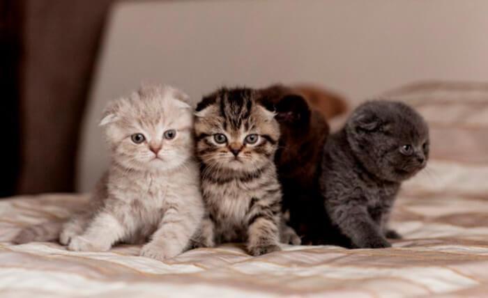 5 1 - Разведение породистых кошек как бизнес